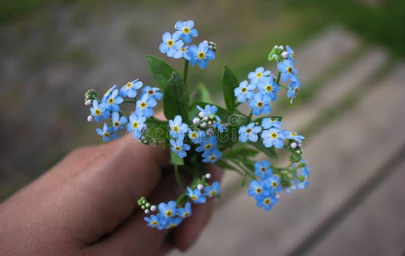 Liten bukett av våren glömma-mig-nots i hand En bukett av mjuka blåa blommor i hand royaltyfri foto