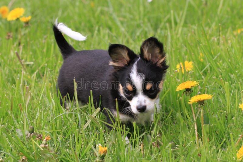 liten chihuahua i gräset arkivbild
