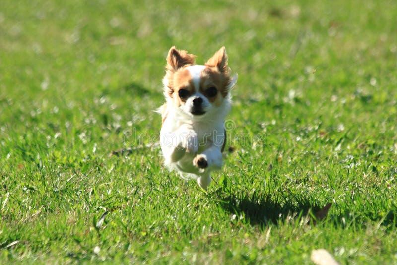 liten chihuahua i gräset fotografering för bildbyråer