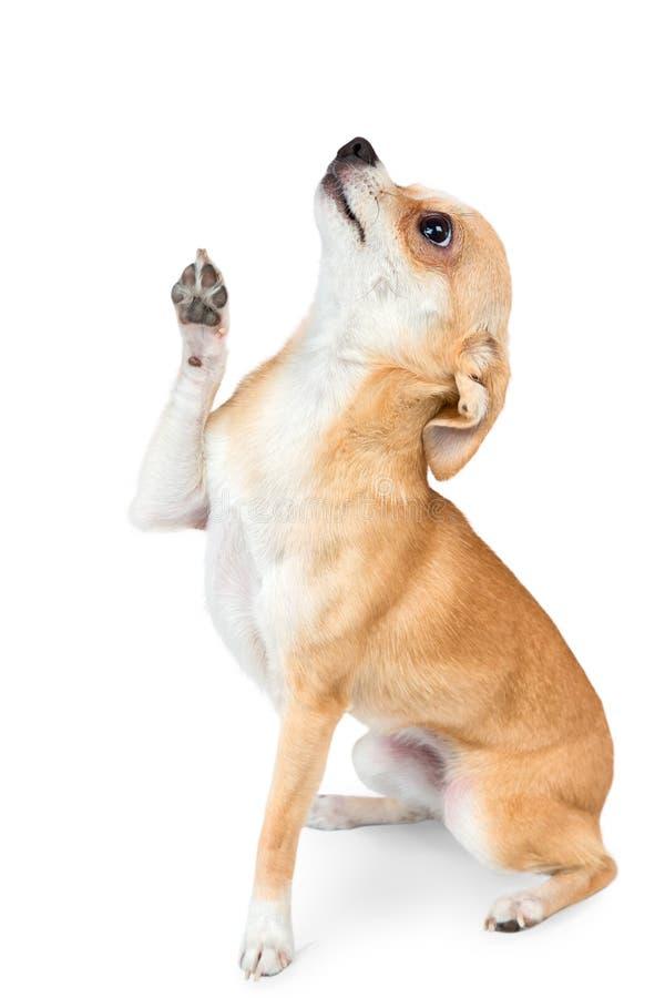 liten chihuahuahund royaltyfri foto
