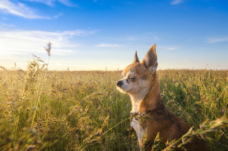 Liten chihuahuahund som tycker om guld- solnedgång i gräs Det står sidan till kameran på färgrikt fält Blå himmel och vit royaltyfria foton