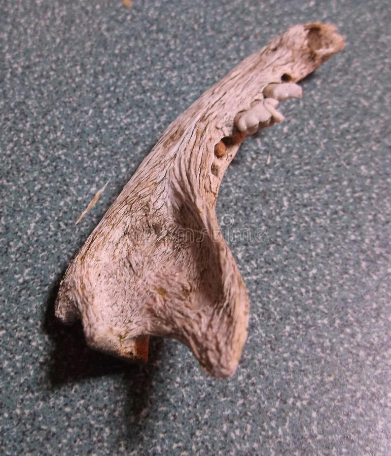 Liten däggdjurs- käke arkivbild