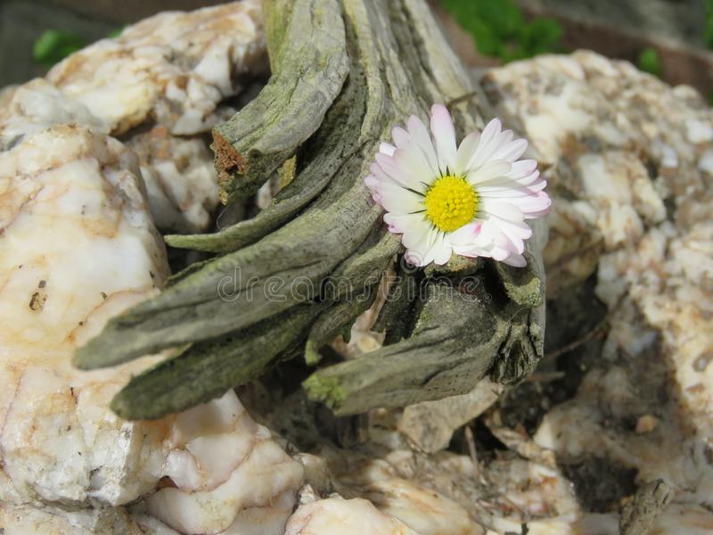 Liten daisie fångade i ett stycke av trä! royaltyfri fotografi
