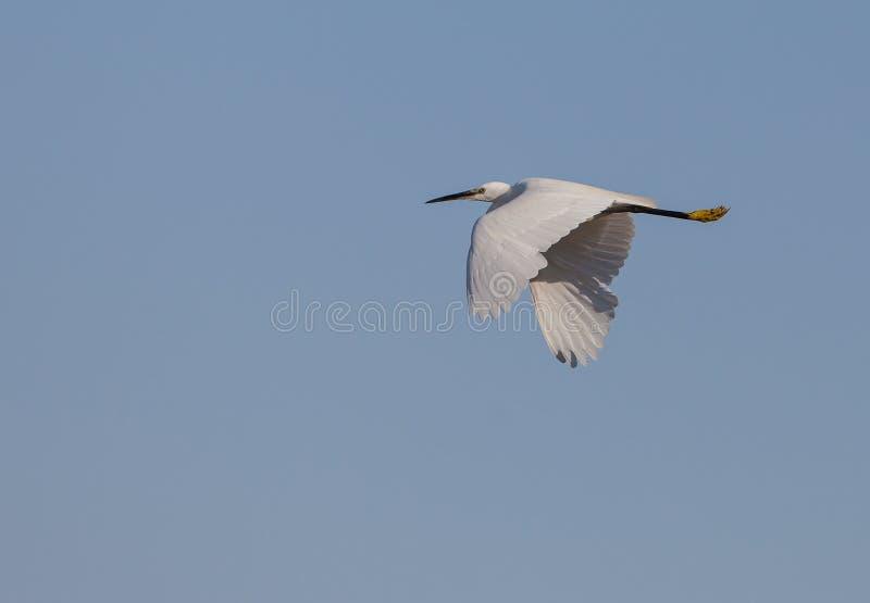 Liten Egret i flyg arkivfoton