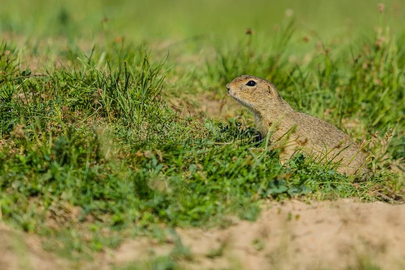 Liten europeisk jordekorre i grönt gräs arkivfoto