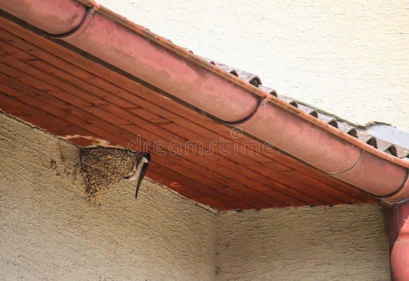 Liten europeisk ladugårdsvala som bygga bo under taket arkivfoton