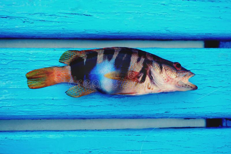 Liten färgrik havsfisk med den fluorescerande blåa fläcken på kroppen som är längst ner av fartyget på det ljust - blåa trägolvti arkivbild