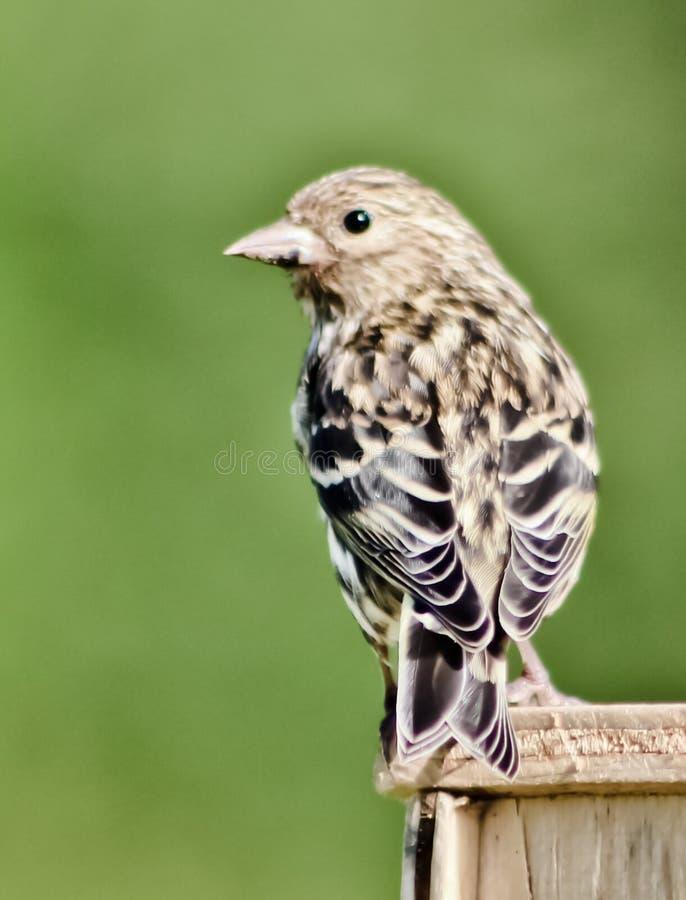 liten fågel royaltyfria bilder