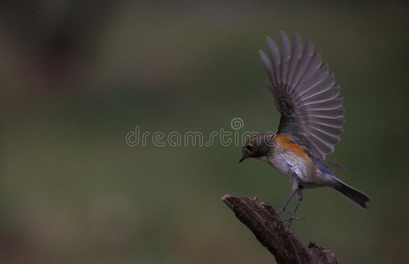 Liten fågel med att vifta med för vingar fotografering för bildbyråer