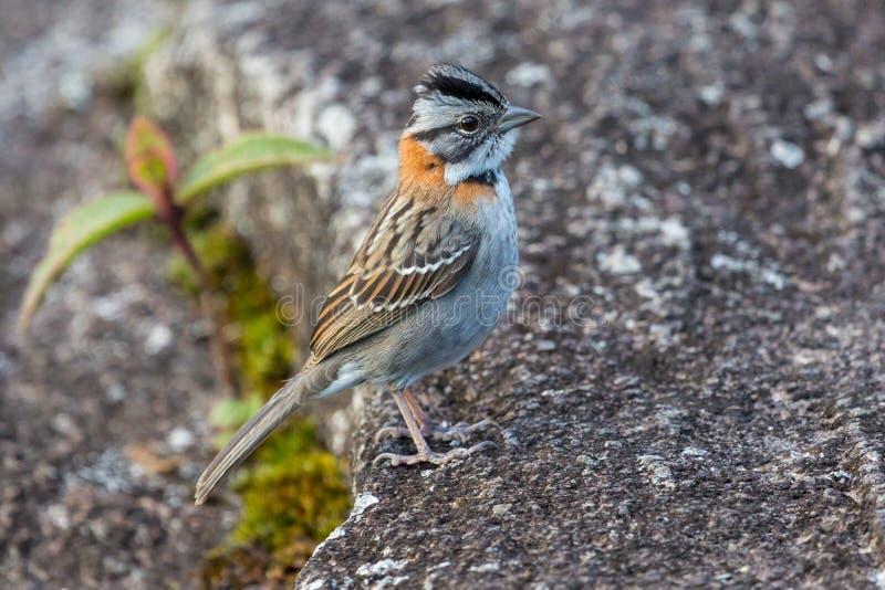 Liten fågel på platå av den Roraima tepuien - Venezuela, Sydamerika royaltyfria foton
