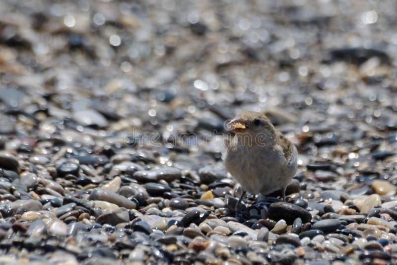 Liten fågel som äter på stranden arkivbild