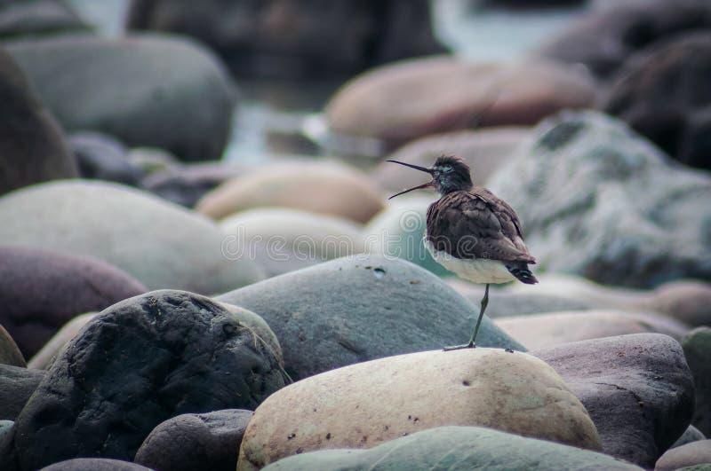 Liten fågel som står ett ben på stenigt jordning kalla royaltyfri bild