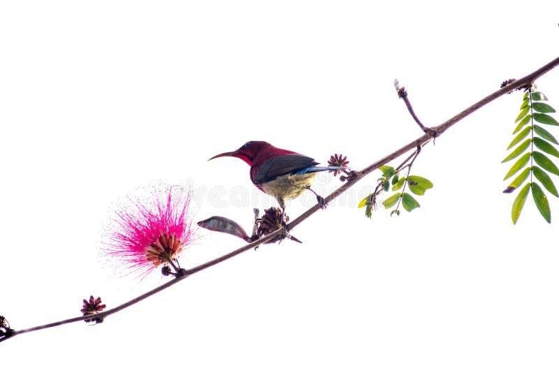 Liten fågelsunbird på en filial i rosa blomma för vit bakgrund royaltyfri foto