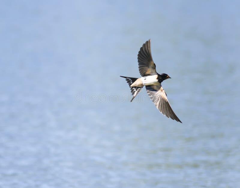 Liten fågelsvala som svävar i den blåa himlen över dammspren arkivfoton