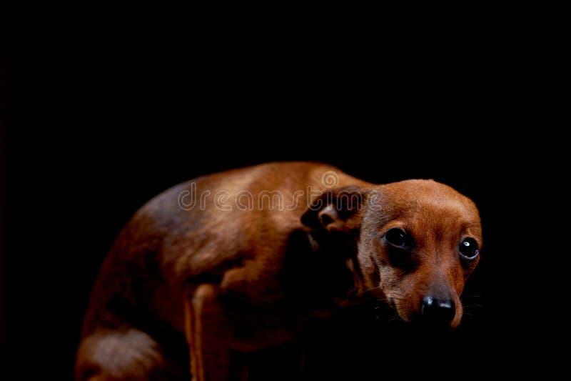 Liten förskräckt terrier på svart royaltyfria bilder