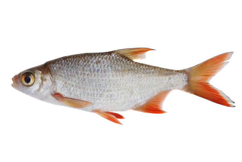 liten fisk royaltyfria foton