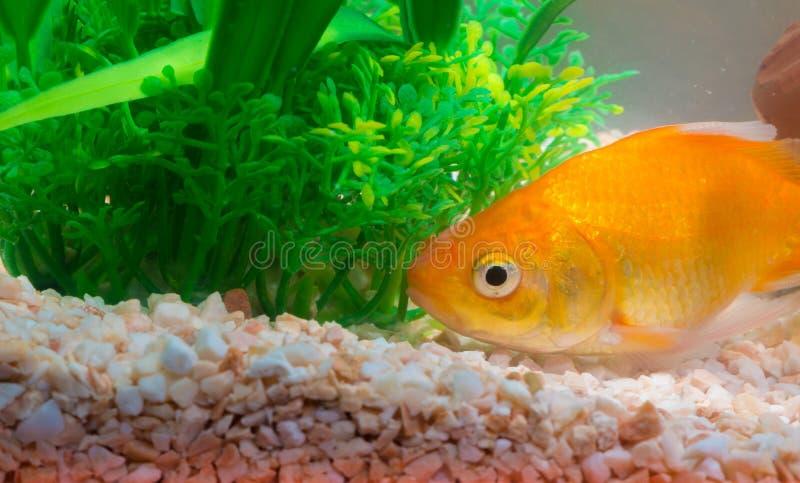 Liten fisk i fiskbeh?llare eller akvarium, guld- fisk, guppy och r?d fisk, utsmyckad karp med den gr?na v?xten, undervattens- liv royaltyfri fotografi