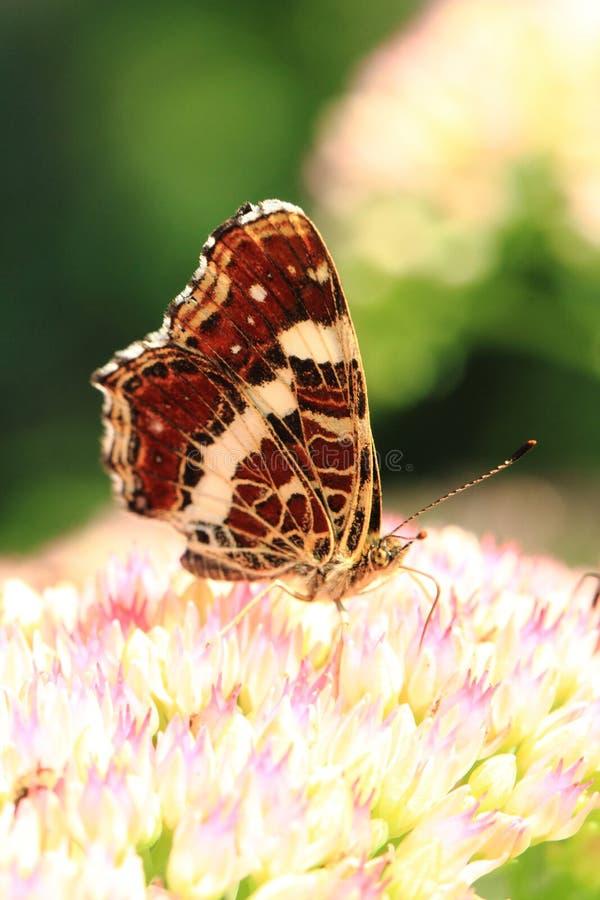 liten fjäril och blomma arkivbilder