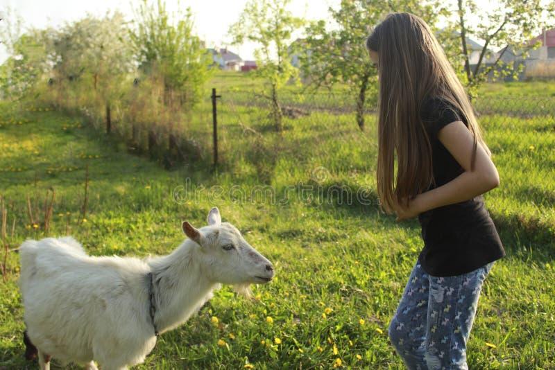 Liten flicka och vit inhemsk get i en äng på en solig dag i sommarnärbild arkivbilder