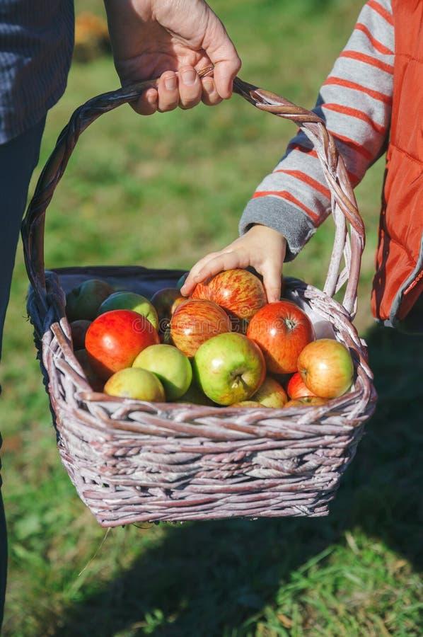 Liten flickahand som väljer ett nytt organiskt äpple från vide- korg fotografering för bildbyråer