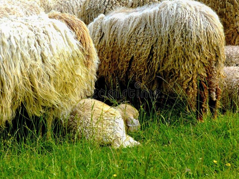 Liten flock av får med lång lockig ull med lite det vita lammet royaltyfria foton