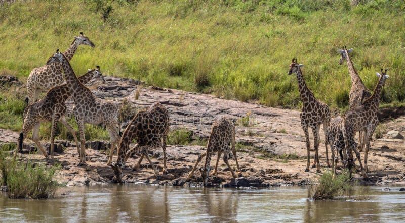 Liten flock av giraffdricksvatten i den Kruger nationalparken royaltyfria bilder