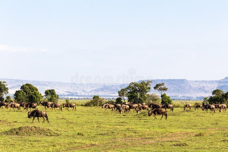 Liten flock av gnu på ändlös savann kenya mara masai royaltyfria foton