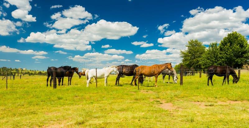 Liten flock av hästar som betar i ett lantligt fält royaltyfri bild