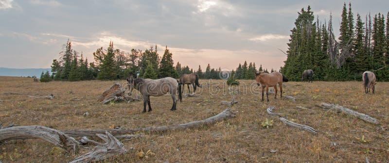 Liten flock av vildhästar som betar bredvid deadwoodjournaler på solnedgången i området för Pryor bergvildhäst i Montana USA royaltyfria bilder