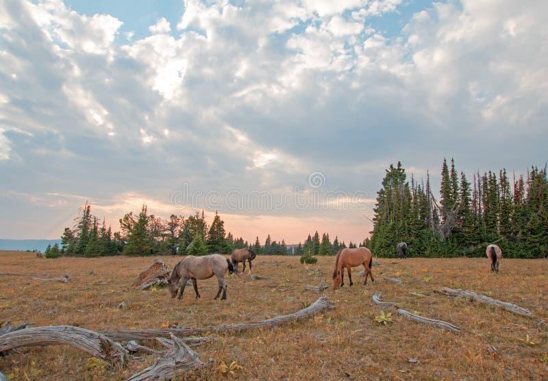 Liten flock av vildhästar som betar bredvid deadwoodjournaler på solnedgången i området för Pryor bergvildhäst i Montana USA arkivfoton
