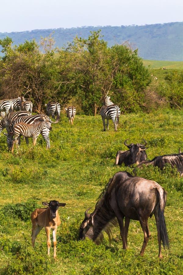 Liten flock av zebraz och gnu i den Ngorongoro krater Tanzania Afrika royaltyfri fotografi
