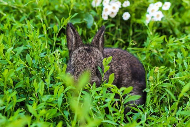 Liten fluffig kanin som lurar i det gröna gräset royaltyfri foto