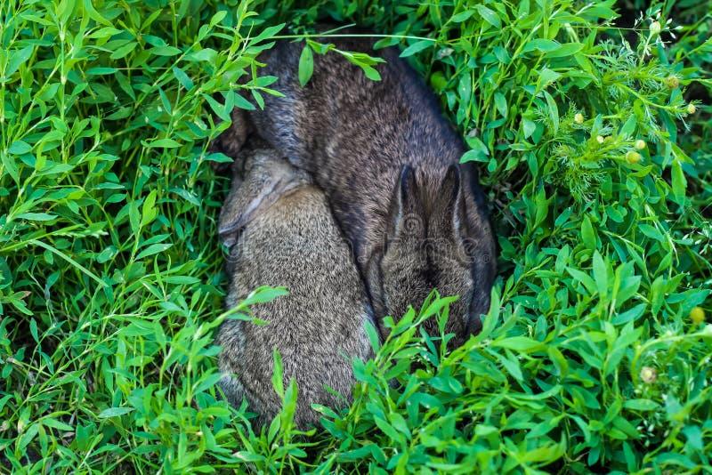 Liten fluffig kanin två i det gröna gräset royaltyfria foton