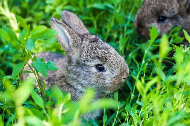 Liten fluffig kanin två i det gröna gräset royaltyfri bild