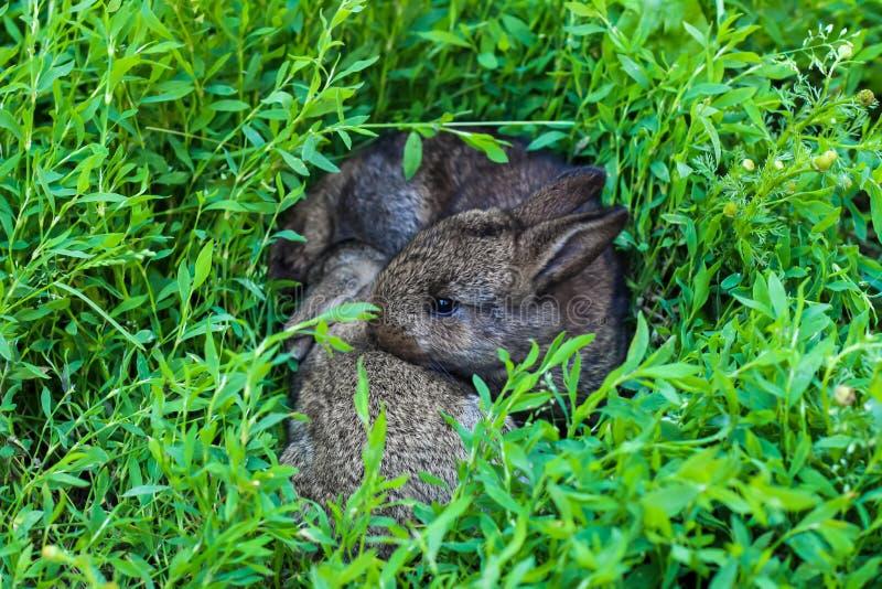 Liten fluffig kanin två i det gröna gräset arkivbild