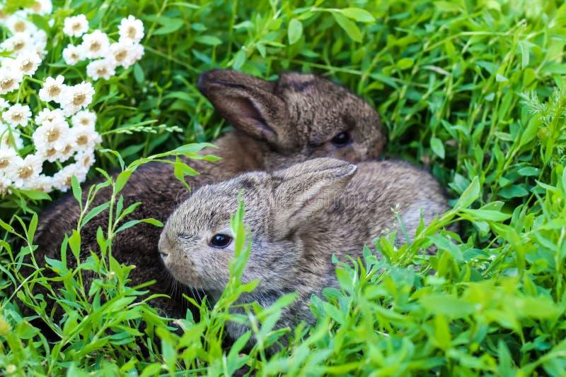 Liten fluffig kanin två i det gröna gräset arkivfoton