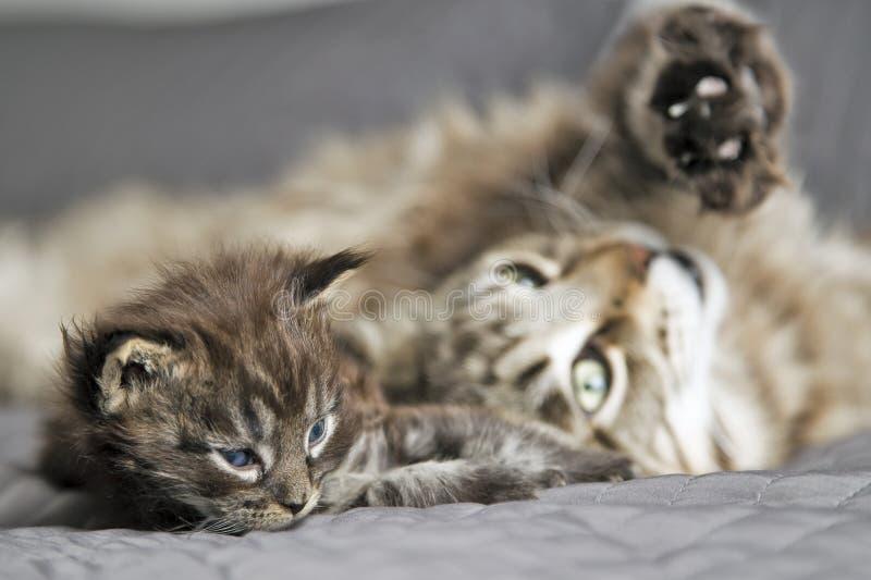 Liten fluffig kattunge Maine Coon med hans moder arkivbilder