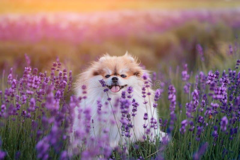 Liten fluffig pomeranian hund i en varm sommar med lavendelfältet royaltyfria bilder