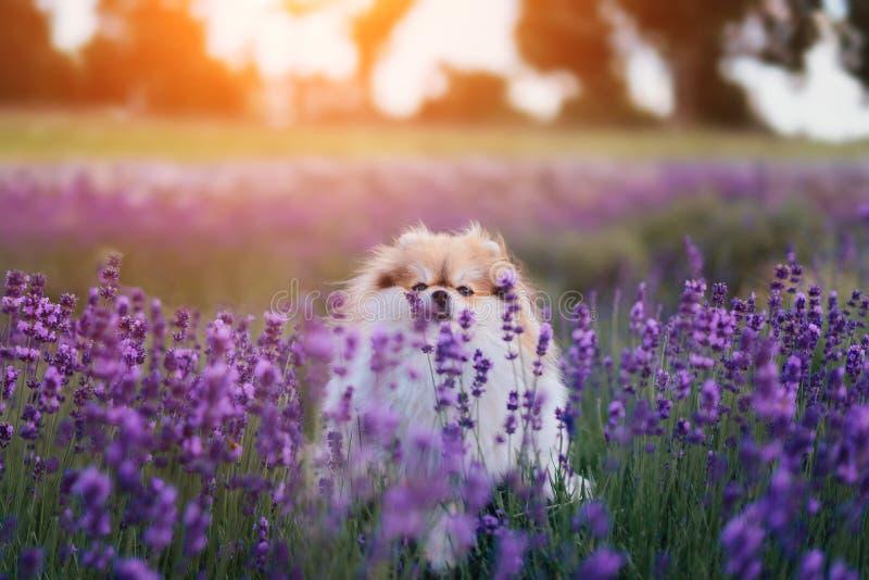 Liten fluffig pomeranian hund i en varm sommar med lavendelfältet arkivfoto