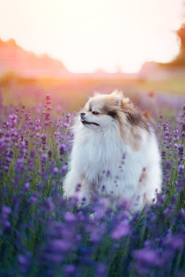 Liten fluffig pomeranian hund i en varm sommar med lavendelfältet arkivbilder