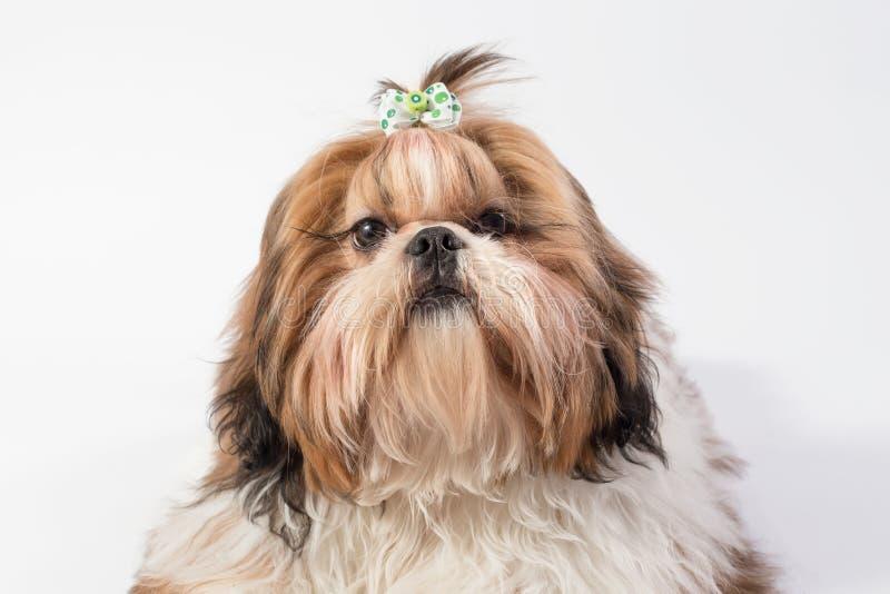 Liten fluffig Shih-tzu hundstående royaltyfri bild