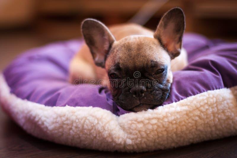 Liten fransk bulldogg royaltyfri fotografi