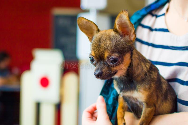 Liten gå i ax hund i händerna av en flicka fotografering för bildbyråer
