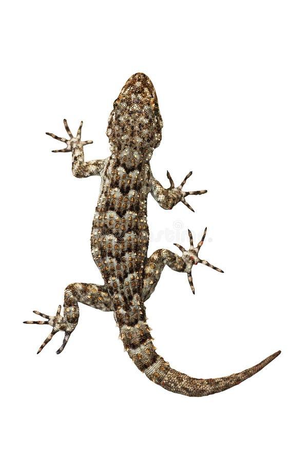 Liten gecko på vit bakgrund arkivfoton