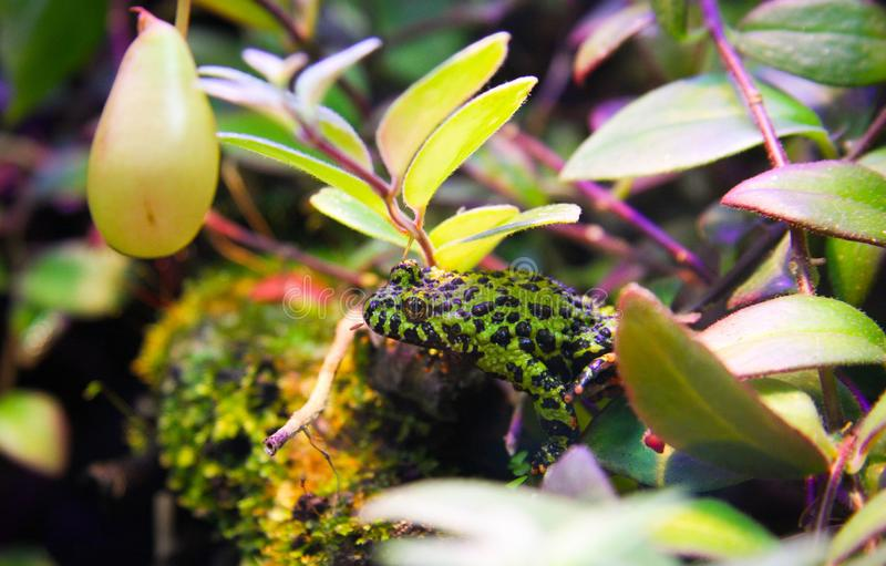 Liten giftig tropisk gräsplan och svart prickig groda royaltyfri foto