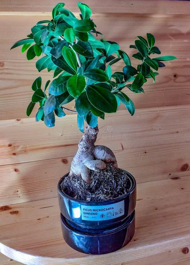 Liten ginsengbonsai nu i Europa finns det många shoppar det för att sälja den bonsai som en dekorativ växt gör dess jobb fotografering för bildbyråer