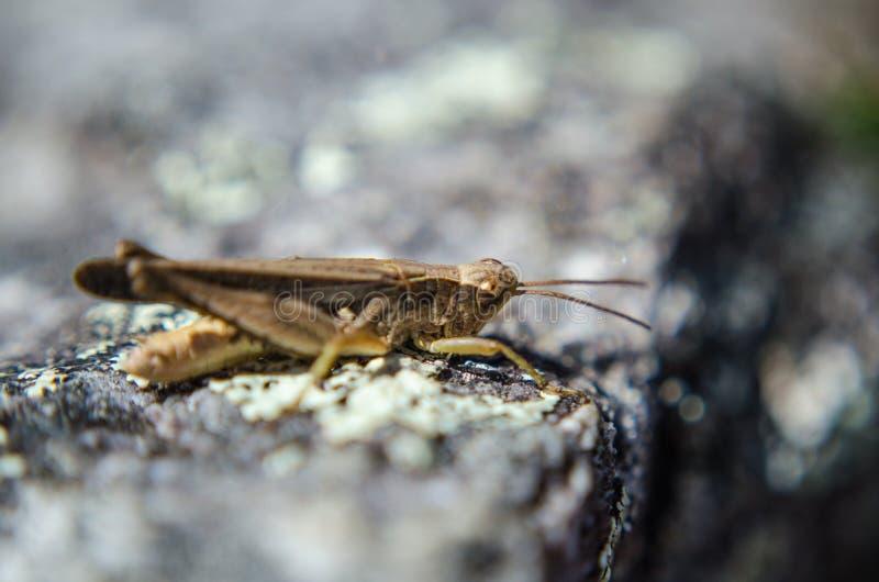 Liten gräshoppa på Machu Picchu royaltyfri fotografi
