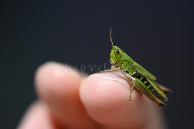 Liten gräsplan behandla som ett barn gräshoppasuborderCaelifera att sitta arkivfoto