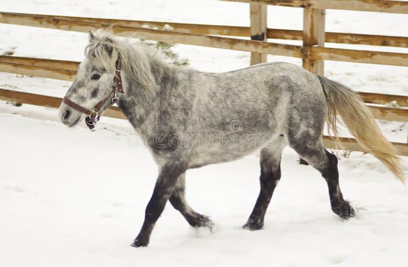 Liten grå häst som går i paddocken royaltyfri fotografi
