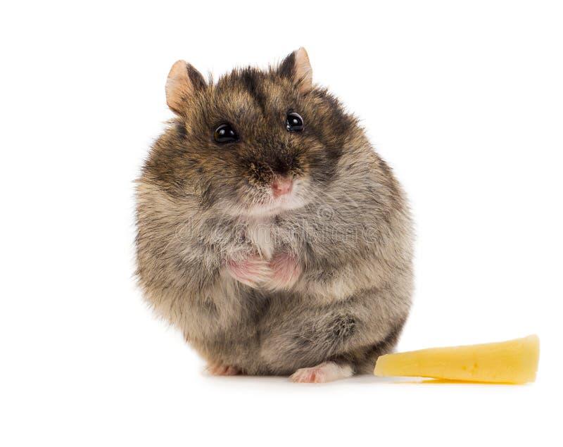 Liten grå hamster med fred av ost royaltyfria bilder